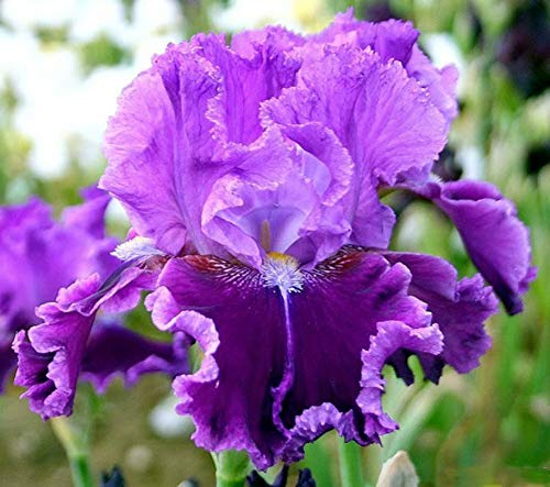 Purple Iris Bulbs-6 Bulbs-Bearded Unique Best for Any Garden Mix Colorful Flowering Perennial Root ()