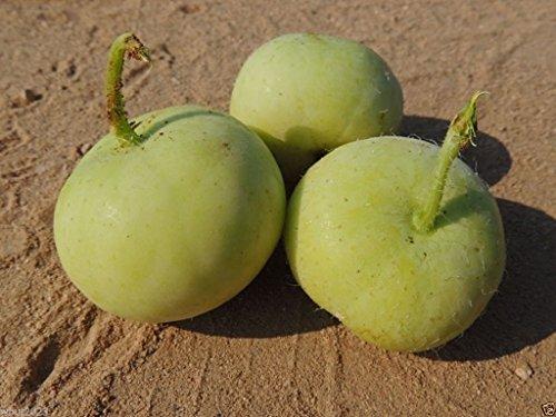 Tinda Gourd 5 Seeds A,k.a. Apple Gourd, Indian Baby Pumpkin Open Pollinated !