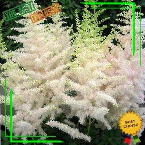 White astilbe chinensis Flowers 50 Seeds False spirea Light up Your Garden Pot