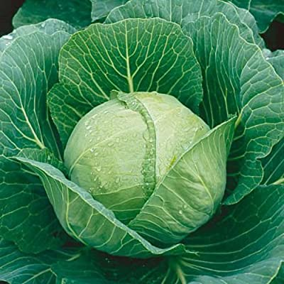 100 Late Flat Dutch Cabbage Seeds