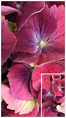 Homegrown Hydrangea Seeds, 100, Raspberry