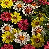 Outsidepride Zinnia Zahara Raspberry Lemonade Flower Seed Mix - 50 Seeds