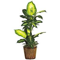 42 Inch Golden Dieffenbachia w/Basket Silk Plant