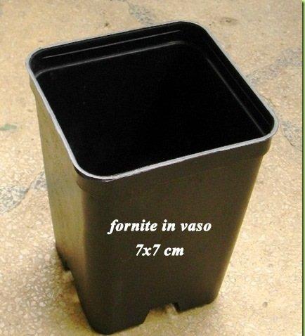 3 Piante in vaso 7x7 Delonix Regia Pianta in vaso di Delonix Regia