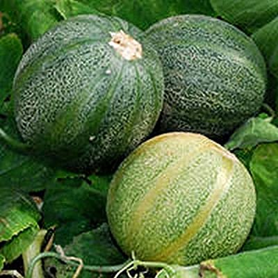 'Minnesota Midget' Melon - A backyard gardener's dream! Compact, 3-4-foot vines!(10 - Seeds) : Garden & Outdoor