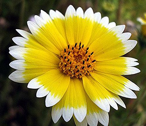 6500+ Tidy Tips Seeds - California Native Wildflower