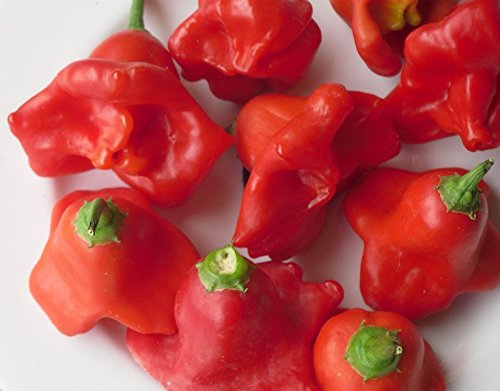 Bishop Crown Chile Pepper 15 Seeds - Medium Hot - (Crown And Pepper)