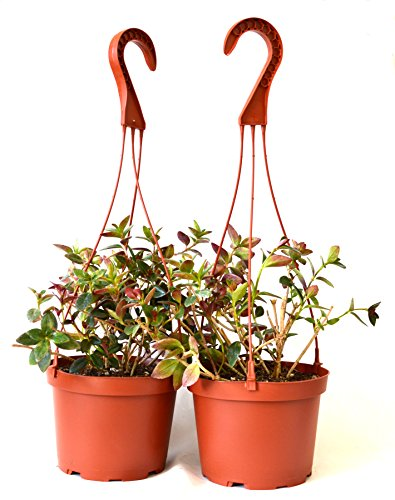 9Greenbox Goldfish Plant Hanging Basket, 6 Inch, 5 Pound (Pack of 2)