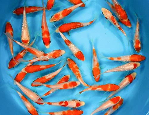 "Family of (10) Kohaku 3-4"" Premium Japanese Koi Live Pond Fish Standard Fin from Living Artwork Fish Farms"