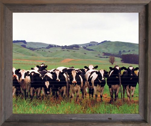 Country Cows Herd Holsteins Dairy Pasture Farm Animal Wall Picture Barnwood Framed Art Print (19x23)
