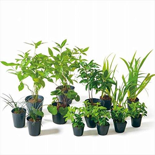 オンリーワン 目的で選ぶ 植栽セット 和(なごみ)下草 マンリョウ 和の景色 SZ6-SET01 B01D1LVAJY