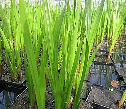 Haritham Rare Medicinal Plant Sweet Flag (Acorus calamus) Vayambu