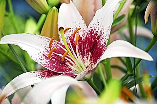 Tango Lily (5 Dot Com Asiatic Tango Lily Bulbs--End of Season Bulb clearance!!!)