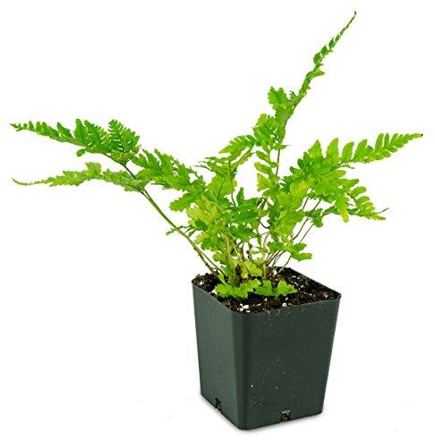 Dryopteris erythrosora -Autumn Fern 'Brilliance'