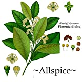 ~ALLSPICE~ Pimenta dioica SPICE TREE Fragrant Leaf Foliage Live small potd Plant