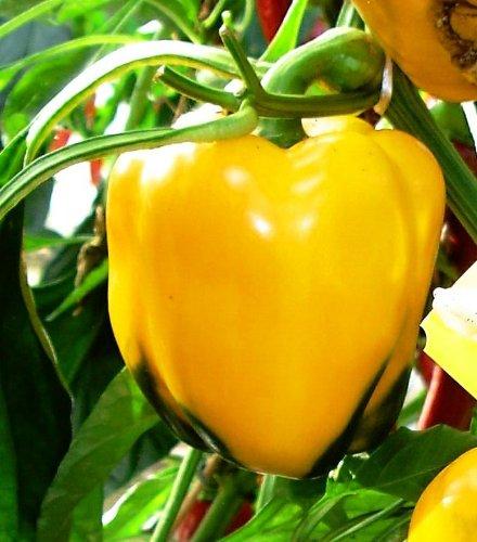 Clovers Garden Golden California Wonder Bell Pepper Plant - Non-GMO - Two (2) Live Plants - Not Seeds - Each 4