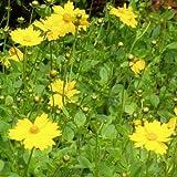 Coreopsis auriculata 'Nana' 18 Plants 4 inch Pots