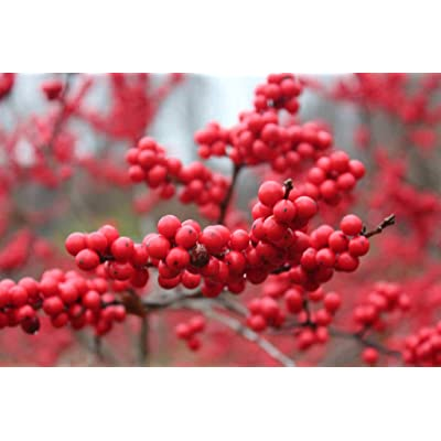 Crimson Red Winterberry Holly Berry Bush Wintering Bird Beautiful in Winter Snow : Garden & Outdoor