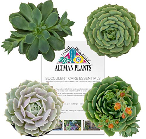 - Altman Plants Assorted Flowering Succulents Collection, 4 Pack 2.5