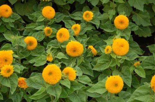 Dwarf Teddy Bear - Sunflower Dwarf Sungold Teddy Bear 40 Seeds, 69