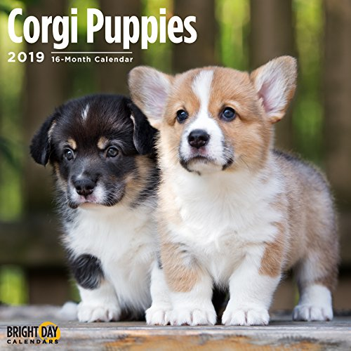 Corgi Puppies 2019 16 Month Wall Calendar 12 x 12 Inches by Bright Day Calendars