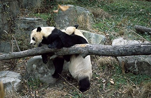 Photograph| Giant pandas, the star attraction at the Smithsonian Institution's National Zoo, Washington, D.C. 2 Fine Art Photo Reproduction 66in x 44in