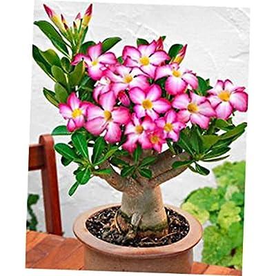 JIIM 1 Rooted Plant Desert Rose - Caudex Bonsai - RK178: Garden & Outdoor