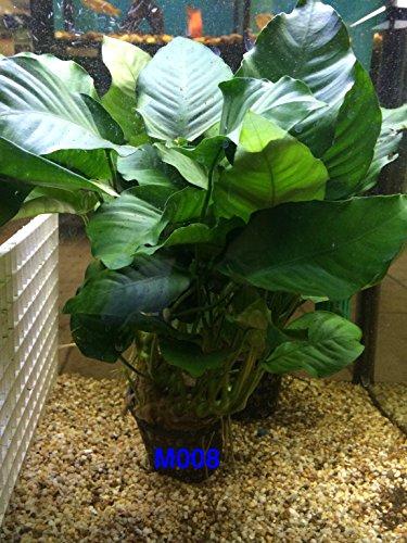 Anubias nana Mother Pot Plant M008 Live Aquatic Plant by Jayco (Image #6)