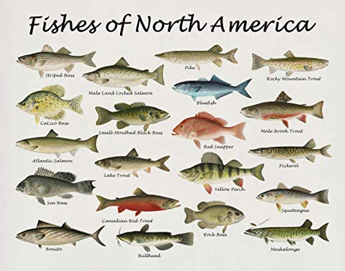 Fishes of North America Beautifully Restored Art Print - 11x14 Unframed Wall Art - Gift for those passionate about Nature, Fish. Great in Dorm, Bedroom, Cabin. Inexpensive Decor Gift Under $20
