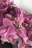 Silhouette, Bougainvillea Plant (flowers, hanging basket, bush, trellis, patio tree, vine) (5 Gal Trellis)