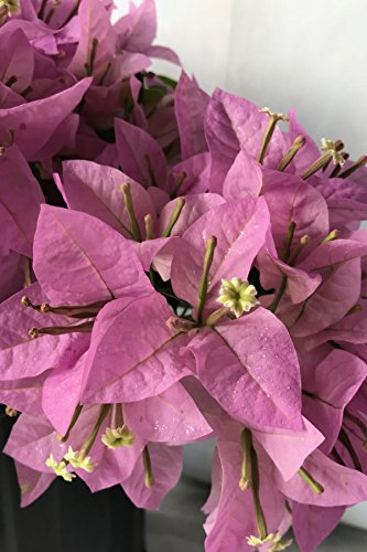 Silhouette, Bougainvillea Plant (flowers, hanging basket, bush, trellis, patio tree, vine) (5 Gal Trellis) by Root 98 Warehouse