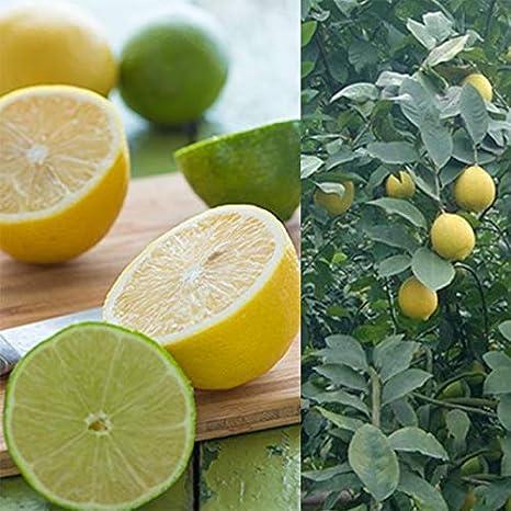 Tomasa Samenhaus Mini Zitronenbaum Samen Bio-Zitronen winterhart mehrj/ährig Bonsai Zitrone Essbar Obst Saatgut Zimmerpflanzen Obst Zitrone f/ür Balkon Garten