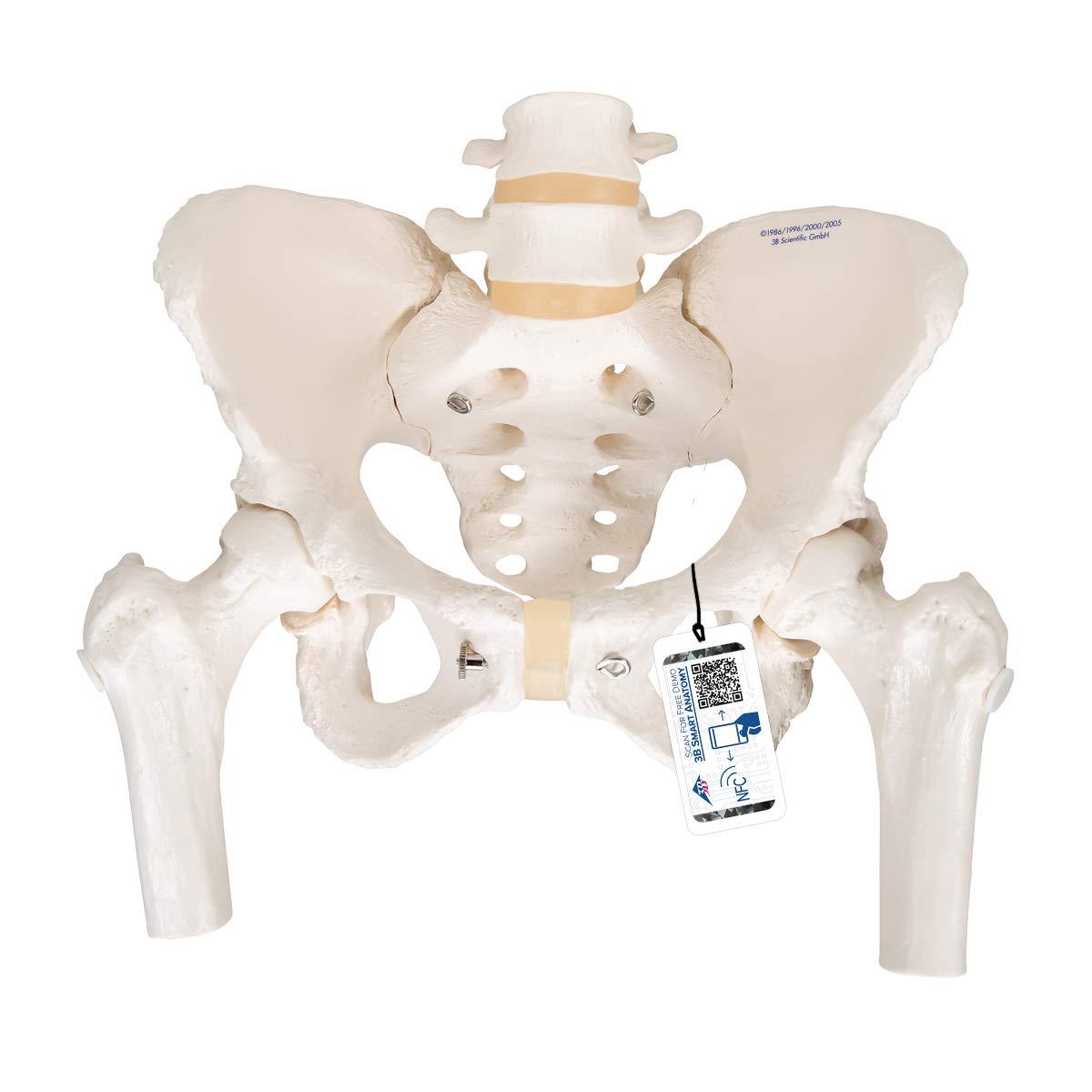 3B Scientific  A62 Modelo de anatomía humana Esqueleto de la Pelvis, femenino, con cabezas de fémur móviles
