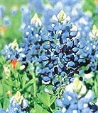 Texas Bluebonnet 35 Seeds - Lupinus - Perennial