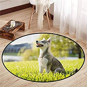"""Round Carpets,Alaskan Malamute,Klee Kai Puppy Sitting on Grass Looking Up Friendly Young Cute Animal,Anti-Slip Doormat Footpad Machine Washable,2'3"""" Multicolor 15"""
