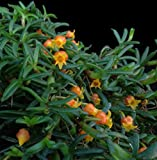 Cheap Orchid Insanity — Mediocalcar decoratum — tiny miniature orchid Papua New Guinea exotic but easy to grow perfect for vivavirums terrariums orange pumpkin-shaped flowers