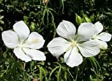 "HIBISCUS COCCINEUS - TEXAS STAR - WHITE - 1 PLANTS - 4"" POT"
