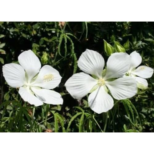 "Discount HIBISCUS COCCINEUS - TEXAS STAR - WHITE - PLANTS - 4"" POT for sale"