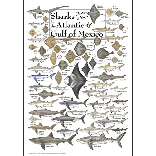 Heritage Puzzle Sharks, Skates & Rays of The Atlantic & Gulf of Mexico - 550 Piece Jigsaw Puzzle (Kinds Of Sharks In The Gulf Of Mexico)