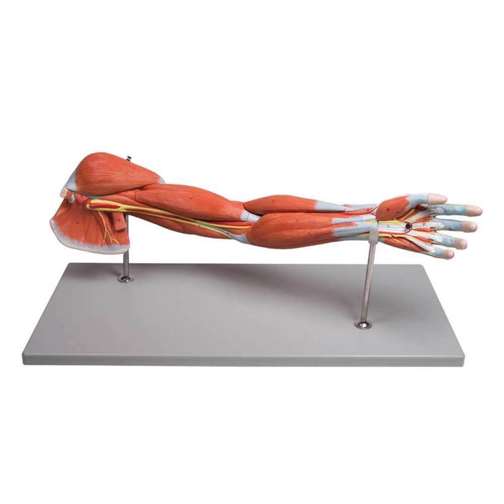 Anatomie Modell, Armmuskulatur-Modell, menschlicher Arm, Armmuskeln ...