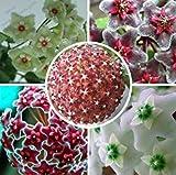 Mr.seeds Hoya seeds, potted flower seed, variety complete Hoya carnosa seeds 100 particles / bag