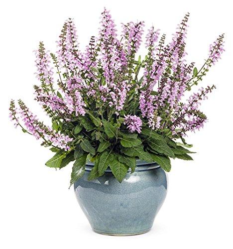 (1 Color Spires Pink Dawn Meadow Sage - Salvia - Gallon Pot Live Plant)