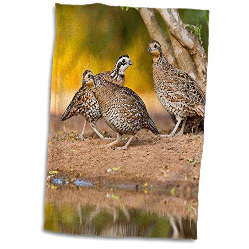 Price comparison product image 3dRose Danita Delimont - Birds - Northern Bobwhite quail bird,  emerging from cover - US44 LDI0553 - Larry Ditto - 12x18 Hand Towel (twl_146690_1)