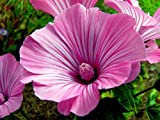 Heirloom 350 Seeds Rose Annual Mallow Lavatera Trimestris Pink Garden Flower