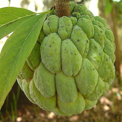 Annona squamosa SUGAR APPLE Easy to Grow Tropical Fruit, ()