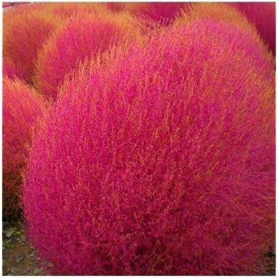 300 Burning Bush Seeds (Kochia Trichophylla) Crimson Summer Cypress : Garden & Outdoor