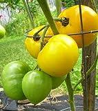lemon tomato - Clovers Garden Lemon Boy Tomato Plant – Two (2) Live Plants – Not Seeds – each 5