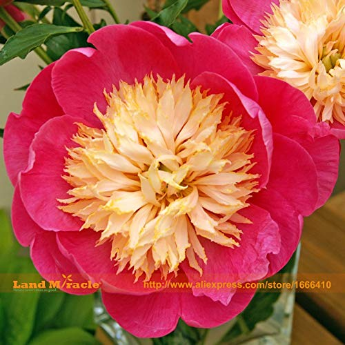 (Casavidas Paeonia39; Bowl of Love39; Tree Peony Seeds, 5 Seeds/Pack, Big Blooms Bright Pink Peony Flower Seeds Bonsai s)