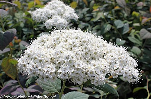 Double Play Blue Kazoo Spirea - 4