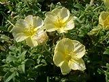 Heirloom 2000 Seeds Oenothera Subsp Drummondii Beach Primrose Seacoast Garden Flower Bulk Seeds B0033